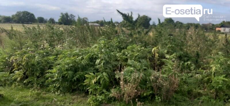 Полицейские Пригородного района Северной Осетии продолжают уничтожение дикорастущей конопли